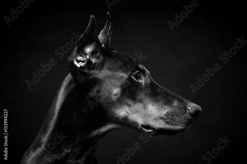 Dobermann Portrait Seite Fototapete