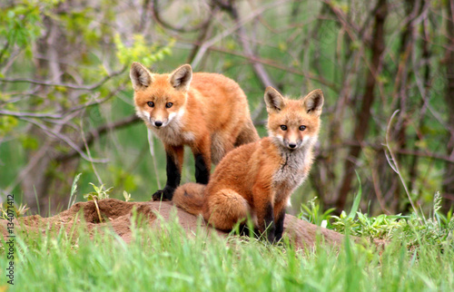 Fototapeta Amazingly beautiful red fox kits