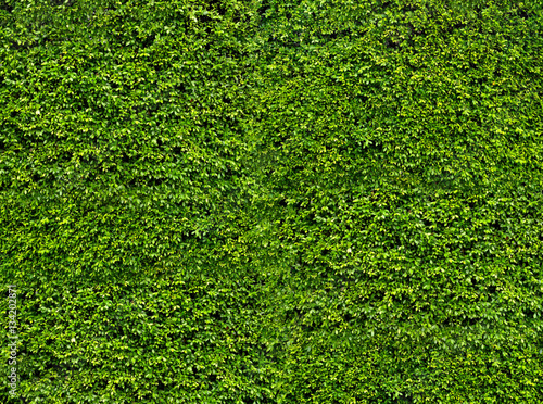 Green leaf wall. Natural fresh leaves background and texture