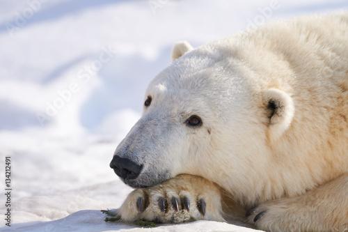 Fototapeta 雪の上のシロクマ