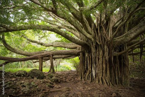 Photo Massive Banyon Tree in Maui