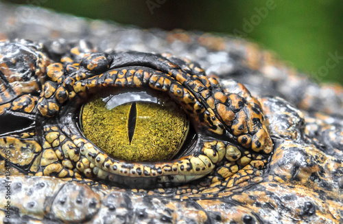 Photo crocodile eyes