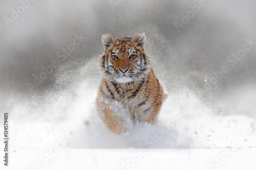 Fototapeta premium Tygrys w dzikiej zimowej przyrodzie. Amur tygrys biegający w śniegu. Scena dzikiej przyrody z niebezpieczeństwem zwierząt. Zimna zima w tajga, Rosja. Płatek śniegu z pięknym tygrysem syberyjskim, Panthera tigris altaica