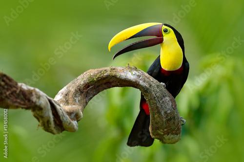 Fototapeta premium Ptak z otwartym rachunkiem. Duży dziób ptaka Tukan chełbot mandibled siedzi na gałęzi w tropikalnym deszczu z zielonym tle dżungli. Scena przyrody z natury z pięknym ptakiem z dużym rachunkiem.