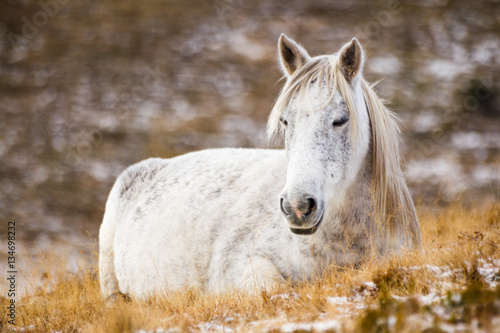 Wild white mustang horse, resting in a snowy field