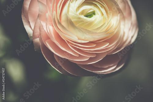 Wallpaper Mural tender pink ranunculus flower