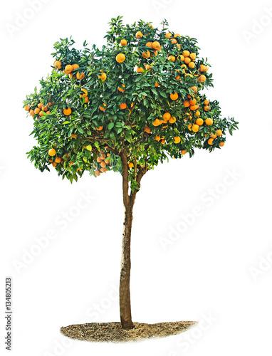Fotografia, Obraz Orange tree on white background