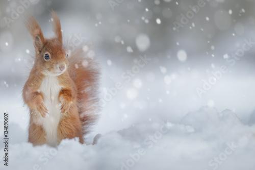 Fototapeta Adorable red squirrel in winter snow