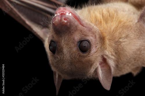 Close-up Egyptian fruit bat or rousette, Rousettus aegyptiacus. on isolated black background