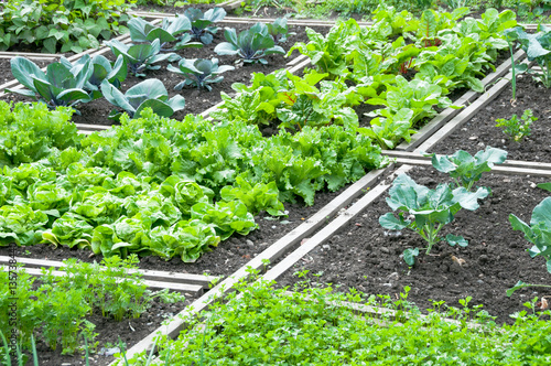 Fotografia Lettuce and red cabbage plants on a vegetable garden ground