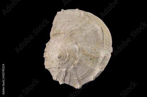 Very large fossil gastropod  Sinistrofulgar sp., from the Pleistocene period, 2.6 million - 11,700 years BP