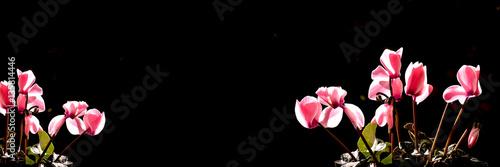 Sizyah ve Pembe Orkide