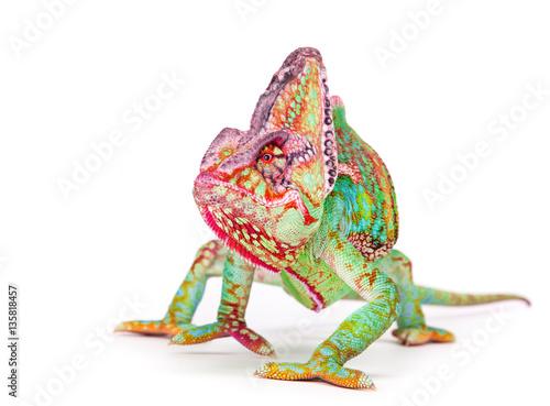 Veiled chameleon (chamaeleo calyptratus) smilling, close-up.