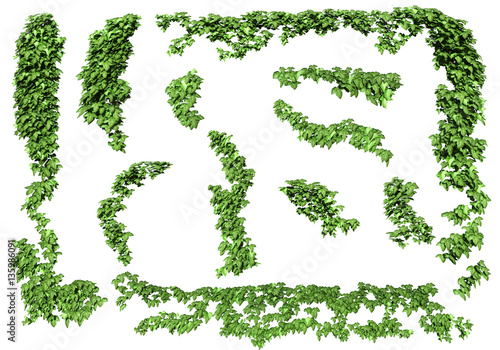 Stampa su Tela Green ivy plant isolated