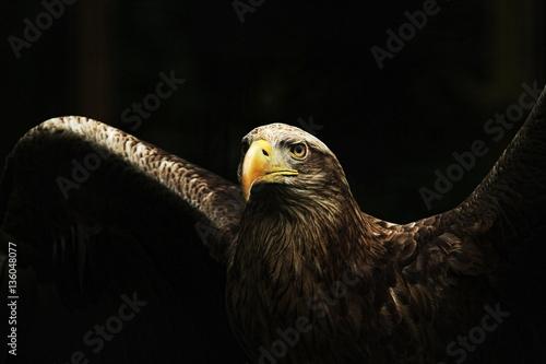 Obraz na płótnie White-tailed Eagle