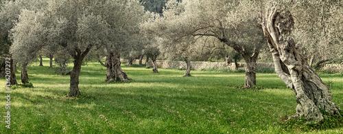 Obraz na płótnie olive grove on the island of Mallorca