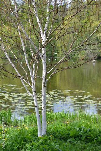 The blossoming birch useful (Himalaya) (Betula utilis D.Don) on