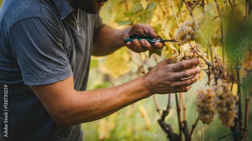 Stampa su Tela Grape harvest in the Tuscan hills.