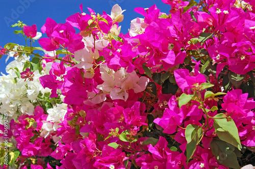 Valokuva Beautiful bougainvillaea flower