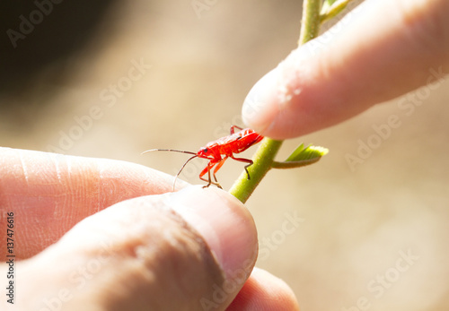 Red young firebug on green plant