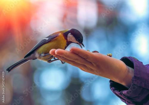 Fototapeta premium sikorki dzikie ptasie na dłoni, na tle pięknego bokeh o zachodzie słońca.