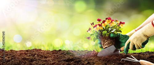 Valokuva Gardening - Planting A Pansy In Sunny Garden