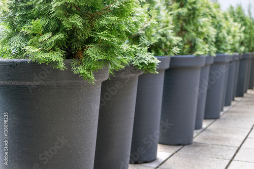 Canvas Print conifers /  Row with gray pots with conifers