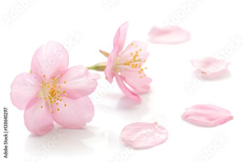 Fototapeta Japanese cherry blossom and petals