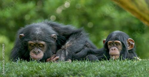 Fotografija Chimps