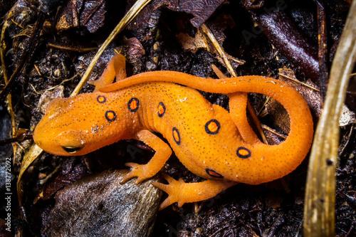 Fotografia Orange Newt