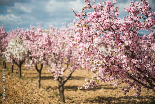 Blooming almond trees at springtime in orchard Fotobehang