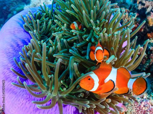 Fényképezés Clownfish in a purple anemone