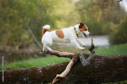 Fotografia dog outdoors in a tree outside, breed Jack Russell Terrier