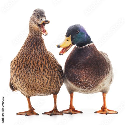 Two wild ducks.