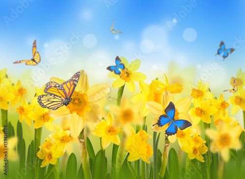 Yellow daffodils with butterflies, spring background of flowers.