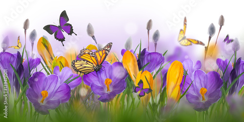 Blue and yellow crocus and snowdrops with willow. Butterflies on the background of spring flowers ..