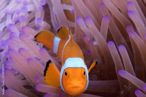 Wallpaper Mural clownfish in anemone indonesia diving sulawesi