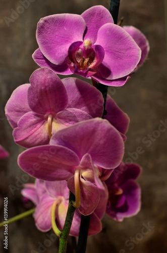 Fototapeta premium fioletowy storczyk