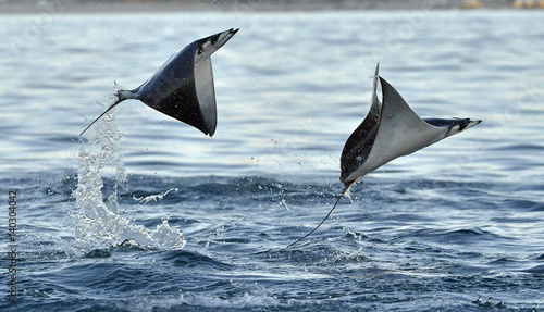 Canvas Print Mobula ray jumping out of the water