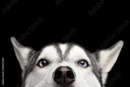 Canvas Print Close-up Head of peeking Siberian Husky Dog with blue eyes on Isolated Black Bac