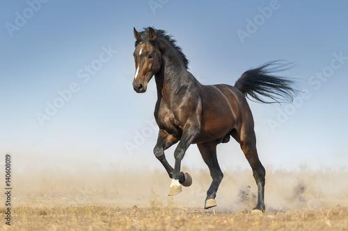 Canvas Print Bay horse run gallop in dust against blue sky