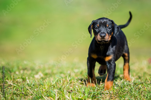 Schwarzbrauner Dobermann Welpe - Hundewelpe Fototapete