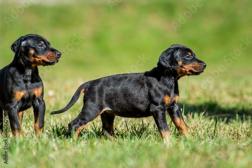 Schwarzbrauner Dobermann Welpe - Hundewelpe Fototapeta