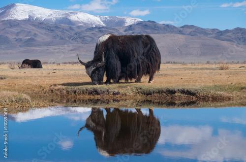 Photo Black yak