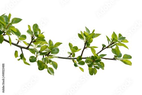 Fotografija branch of pear wood