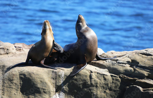 Fototapeta premium California Sea Lions in La Jolla Cove, California