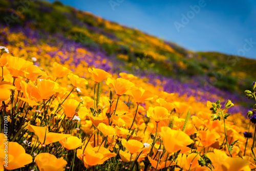 Fotografie, Obraz California poppies and wildflowers color the mountains during superbloom in southern California
