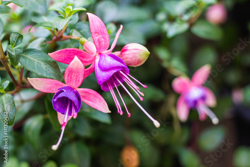 Carta da parati Fuchsia flower on nature background