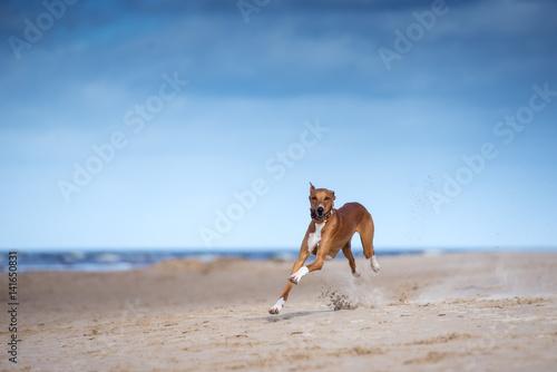 Valokuva fast running azawakh dog on the beach