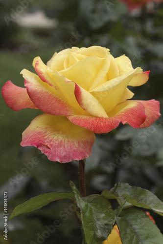 Obraz na płótnie Rosa x / Rose 'Pullman Orient Express'